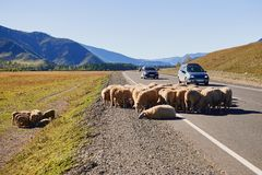A flock of sheep on the road with cars in the Altai Mountains royalty free stock photography