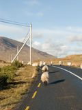Flock of sheep on a road in Ireland. Flock of sheep on a road in Connemara, Ireland Royalty Free Stock Photos