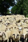 Flock of sheep. With  on a road in a small town in  Germany blocking the whole street Royalty Free Stock Photos