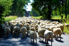 Flock of sheep. With  on a road in a small town in  Germany blocking the whole street Royalty Free Stock Photography