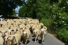 Flock of sheep. With  on a road in a small town in  Germany blocking the whole street Stock Image