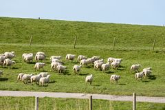 Flock of sheep running along a Dutch dike Royalty Free Stock Photo