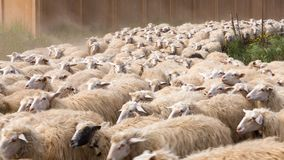 Sheep running on a dusty road. A flock of sheep running downwards on a dusty road Stock Images