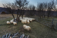 A flock of sheep running on meadow Royalty Free Stock Images