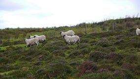 Flock of sheep running. Running through Scottisch landscape on Isle of Skye stock footage