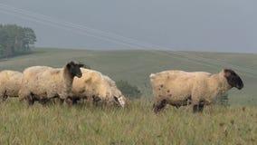 Flock of sheep runs away during herding in Slovakia stock footage