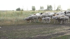 A flock of sheep runs on the farm. Helpless animals are led by a shepherd.