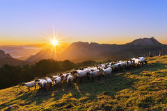 Flock of sheep in Saibi mountain Stock Photo