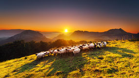 Flock of sheep in Saibi mountain Royalty Free Stock Photography