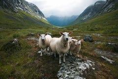 Flock of sheep. Scandinavia, Trolls valley. Flock of sheep stand in Trolls valley, Scandinavia Royalty Free Stock Images
