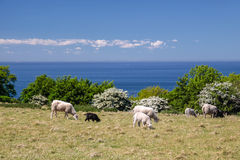 Flock of sheep by the sea near on Bornholm Royalty Free Stock Image