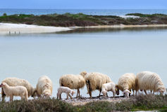 A flock at sheep on the sea shore Stock Image