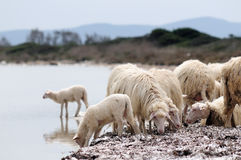 A flock of sheep at the sea shore. Sardinia Stock Images