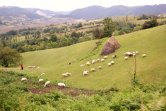 A flock of sheep Stock Photos
