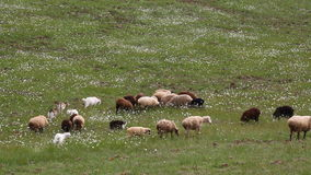 Flock of sheep sheep goats walking stock video