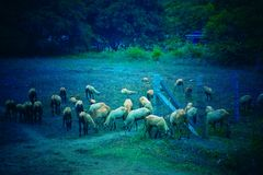 A flock of sheep royalty free stock image