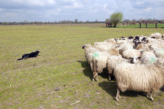 Flock of sheep and sheepdog  in dutch meadow near woudenbergin t Royalty Free Stock Photos