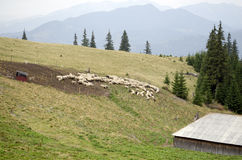 Flock of sheep at sheepfold Royalty Free Stock Photos