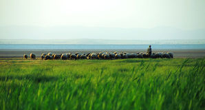 Flock of sheep and shepherd Royalty Free Stock Images