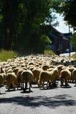 Flock of sheep Stock Image