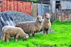 A flock of sheep Royalty Free Stock Photos