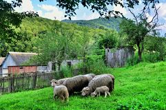 A flock of sheep Royalty Free Stock Images