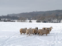 A Flock of Sheep in the Snow. A Flock of sheep in a snow covered landscape Stock Photos
