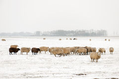 Flock of sheep in the snow Stock Photos