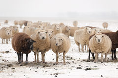 Flock of sheep in the snow Stock Images