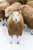 Flock of Sheep in Snow. A flock of sheep in a snow covered field Royalty Free Stock Photos
