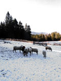 Flock of sheep in the snow on a farm Stock Photos