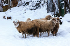 Flock of sheep in the snow Royalty Free Stock Images