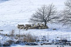 Flock of sheep in the snow. Flock of sheep in the winter snow underneath trees in a field Royalty Free Stock Image