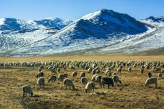 Flock of sheep by the snowy mountains