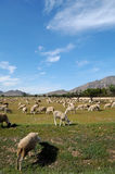 Flock of sheep, spanish farming Stock Photo