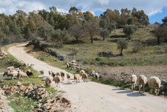 A flock of sheep on a spring day. A flock of sheep on a spring day up on the road in Ronda, Spain Stock Photos