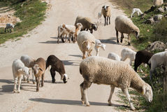 A flock of sheep on a spring day. Up on the road in Ronda, Malaga province, Andalusia, Spain Royalty Free Stock Photography