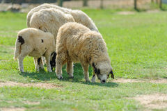 Flock of sheep on spring green grass Stock Image