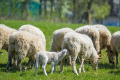 Flock of sheep on a spring meadow Royalty Free Stock Photo