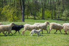 Flock of sheep on a spring meadow Stock Image