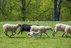 Flock of sheep on a spring meadow Stock Photo