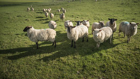 Flock of sheep in Spring sunshine in English farm countryside la Royalty Free Stock Image