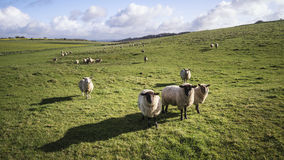 Flock of sheep in Spring sunshine in English farm countryside la Stock Images
