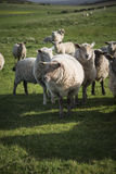 Flock of sheep in Spring sunshine in English farm countryside la Stock Photo