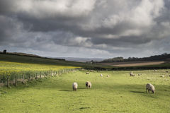 Flock of sheep in Spring sunshine in English farm countryside la Royalty Free Stock Photography