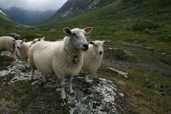 Flock of sheep. Scandinavia, Trolls valley Stock Photos