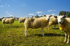 Flock of sheep standing in a field waiting Royalty Free Stock Image