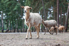 Flock of sheep standing on a road Royalty Free Stock Photos