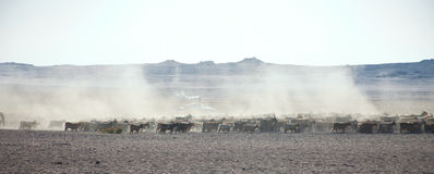 A flock of sheep on the steppes Stock Photography