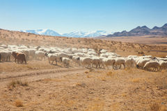 A flock of sheep on the steppes Stock Images